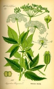 Giersch (Aegopodium podagraria) (Tafel aus -Flora von Deutschland, Österreich und der Schweiz- von Otto Wilhelm Thomé von 1885) - Quelle: www.BioLib.de