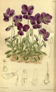 Illustration von Viola gracilis - Quelle: Wikipedia