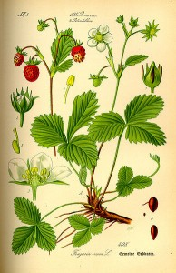 Walderdbeere aus -Flora von Deutschland, Österreich und der Schweiz-, 1885, O.W.Thomé (Quelle: www.biolib.de)