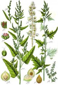 Gartenmelde (li.) - Glanzmelde (re.) aus: Deutschlands Flora in Abbildungen (1796); Sturm (Quelle: Wikimedia)