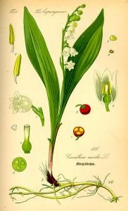 Maiglöckchen (Tafel aus -Flora von Deutschland, Österreich und der Schweiz- ,1885, von O.W. Thomé (Quelle: www.biolib.de]