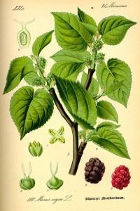 Schwarzer Maulbeerbaum (Morus nigra)  (Tafel aus -Flora von Deutschland, Österreich und der Schweiz- von Otto Wilhelm Thomé von 1885 Quelle: www.BioLib.de