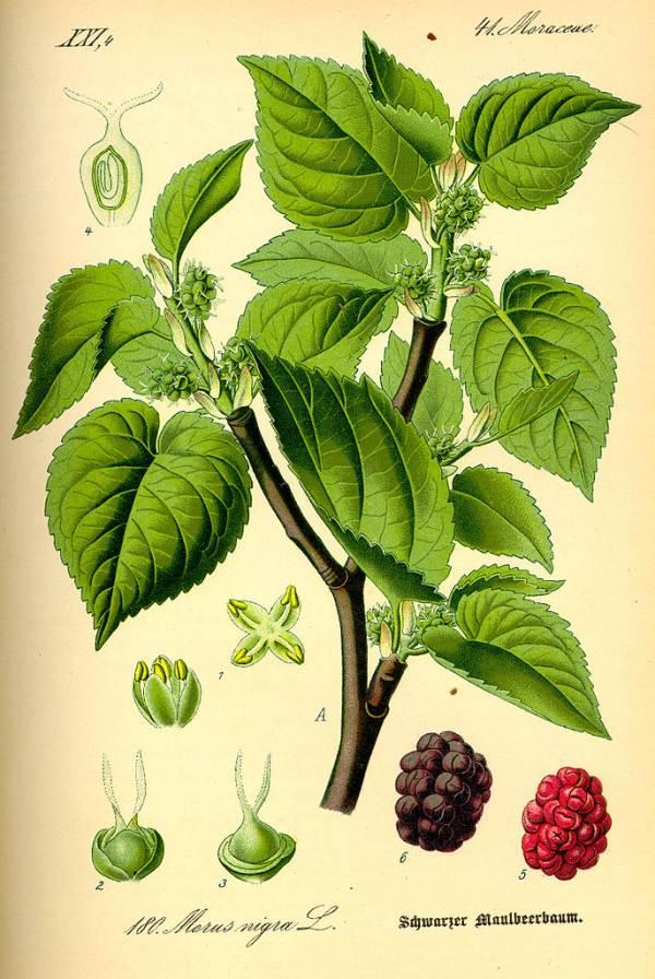 Schwarzer Maulbeerbaum