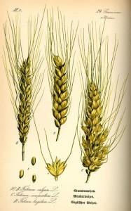 Grannenweizen (Tafel aus -Flora von Deutschland, Österreich und der Schweiz- von Otto Wilhelm Thomé von 1885) - Quelle: www.BioLib.de