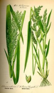 Hirse ( Panicum miliaceum L.) - (Tafel aus -Flora von Deutschland, Österreich und der Schweiz- von Otto Wilhelm Thomé von 1885) - Quelle: www.BioLib.de