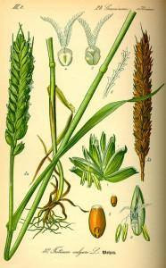 Kulturweizen (Tafel aus -Flora von Deutschland, Österreich und der Schweiz- von Otto Wilhelm Thomé von 1885) - Quelle: www.BioLib.de