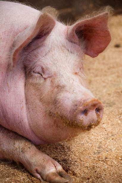 Die Schweinestadt