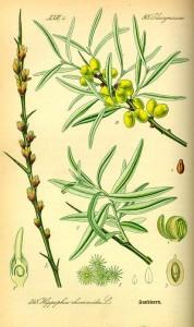 Sanddorn (Hippophae rhamnoides) (Tafel aus -Flora von Deutschland, Österreich und der Schweiz- von Otto Wilhelm Thomé von 1885) - Quelle: www.BioLib.de