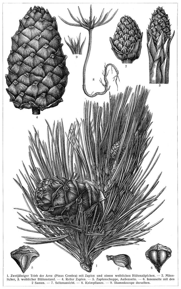 Arve oder Zirbelkiefer