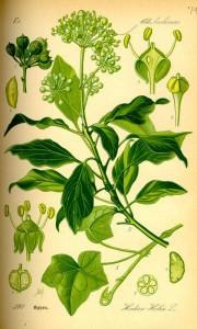 Efeu (Hedera helix) (Tafel aus -Flora von Deutschland, Österreich und der Schweiz- von Otto Wilhelm Thomé von 1885) Quelle: www.BioLib.de