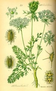 Wilde Möhre (Daucus carota) (Tafel aus -Flora von Deutschland, Österreich und der Schweiz- von Otto Wilhelm Thomé von 1885) Quelle: www.BioLib.de
