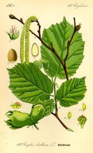 Hasel (aus: 'Flora von Deutschland, Österreich und der Schweiz'; O.W.Thomé; 1885 Quelle: BioLib.de)