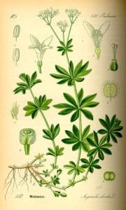 Waldmeister (Galium odoratum) (Tafel aus -Flora von Deutschland, Österreich und der Schweiz- von Otto Wilhelm Thomé von 1885) Quelle: www.BioLib.de
