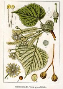 Sommerlinde (Tilia grandifolia) Deutschland Flora in Abbildungen von Jacob Sturm und Johann Georg Sturm - von 1796  Quelle: www.BioLib.de