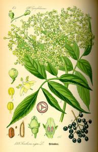 Holunder (O.W.Thomé; Flora von Deutschland, Österreich und der Schweiz; 1885; Quelle: BioLib.de)