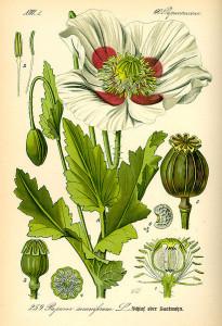 Schlafmohn (aus: O.W.Thomé, Flora von Deutschland, Österreich und der Schweiz; 1885; Quelle: BioLib.de)