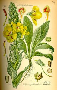 Königskerze (aus 'Flora in Deutschland, Österreich und der Schweiz'; O.W.Thomé; 1885; Quelle: BioLib.de)