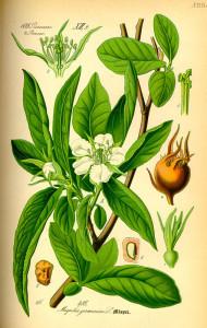 Echte Mispel (aus O.W.Thomé, Flora von Deutschland, Österreich und der Schweiz; 1885; Quelle: BioLib.de)