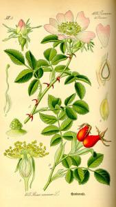 Rose (aus: Flora von Deutschland, Österreich und der Schweiz; O.W.Thomé; 1885; Quelle: BioLib.de)
