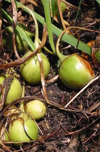 Gemeine Alraune - Mandragora officinarum - Früchte - Pariser Jardin des Plantes