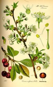 """Kirsche (aus """"Flora von Deutschland, Österreich und der Schweiz"""", O.W.Thomé, 1885; Quelle: BioLob.de)"""