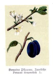 Pflaume (aus: 'Botanisches Bilderbuch für Jung und Alt', F.Bley, 1897; Quelle: BioLib.de)