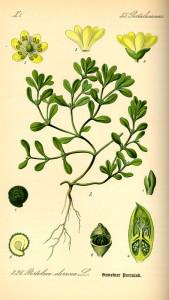 Portulak (aus: 'Flora von Deutschland, Österreich und der Schweiz; O.W.Thomé; 1885; Quelle: BioLib.de)