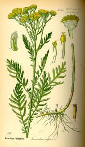 """Rainfarn (aus """"Flora von Deutschland, Österreich und der Schweiz"""", O.W.Thomé, 1885; Quelle: BioLib.de)"""