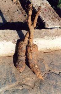Wurzeln der Gemeinen Alraune Quelle: wikimedia