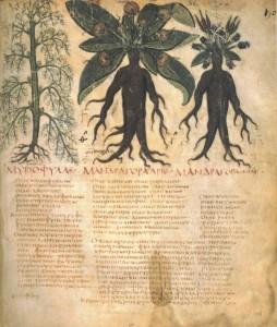 Mandragorabilder im Dioscurides Neapolitanus Blatt XC (90) um 700 Quelle: wikimedia