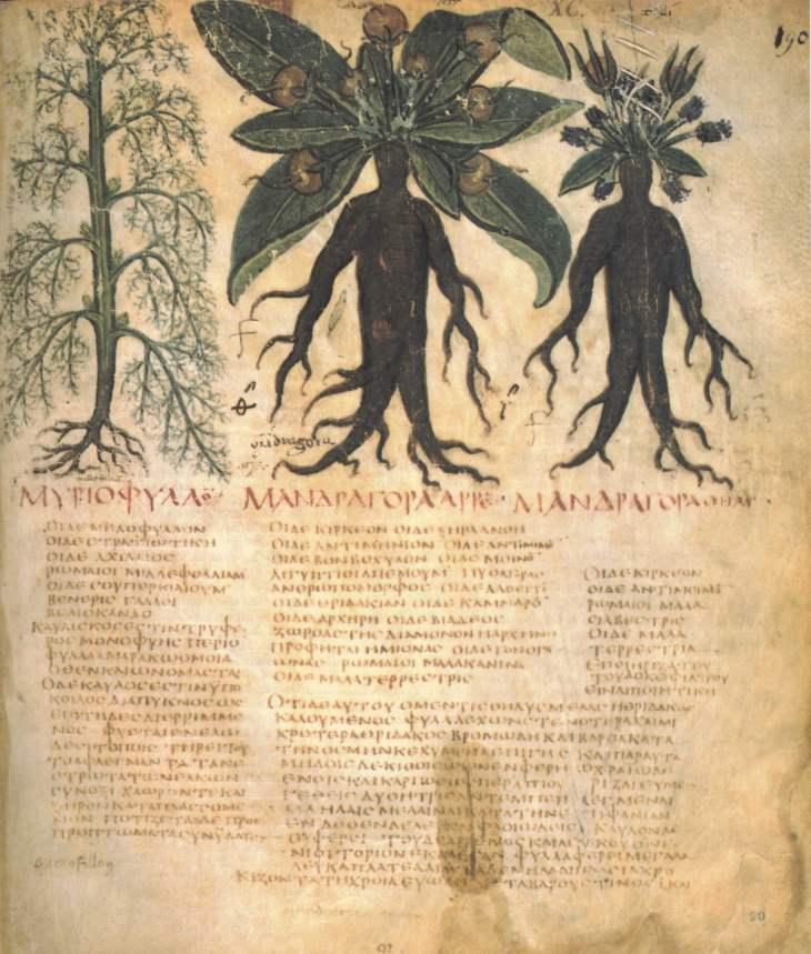 Alraune Codex Dioscurides neapolitanus