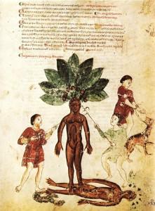 Seite aus dem Kodex Medicina Antiqua (fol. 118 recto). Das Bild zeigt die mythische Ernte einer Alraunwurzel. Der Text darüber erläutert die medizine Anwendung der Pflanze Mandragora (gegen Ausschlag und Gelenkschmerzen) um 1250 Quelle: wikimedia