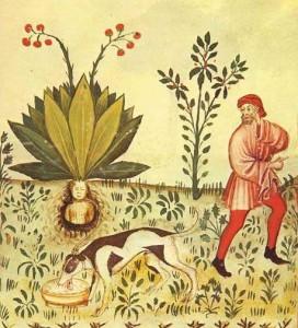 Alraunenernte mithilfe eines Hundes (Wiener Tacuinum Sanitatis (um 1390) Quelle: wikimedia