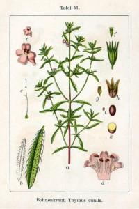 Bohnenkraut (Thymus cunila)  Deutschland Flora in Abbildungen von Jacob Sturm und Johann Georg Sturm - 1796  Quelle: www.BioLib.de