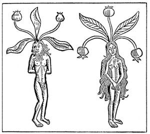 Eine männliche und eine weibliche Alraune. Holzschnitt aus dem Hortus sanitatis des Johannes de Cuba etwa 1498 Quelle: wikimedia