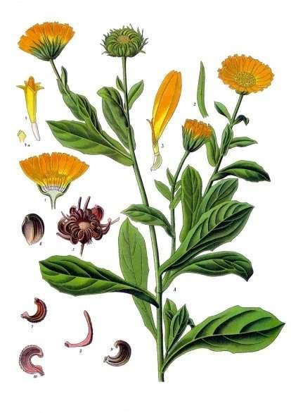 Ringelblume. A Blühende Pflanze. 1 Blütenkopf im Durchschnitt; 2 Blatt des Hüllkelches; 3 weibliche Randblüte; 4 Scheibenblüte; 4a Narbe der Scheibenblüte; 5 Fruchtkörbchen; 6 mittleres Früchtchen, Bauchseite; 7 inneres Früchtchen, Seitenansicht; 8 äusseres Früchtchen, Seitenansicht; 9 mittleres Früchtchen, Seitenansicht; 10 mittleres Früchtchen im Längsschnitt. (Franz Eugen Köhler 1897, Köhler's Medizinal-Pflanzen - Quelle: Wikipedia)