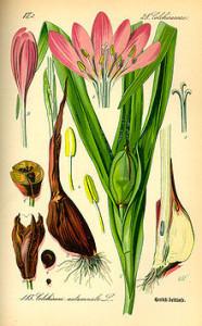 Herbstzeitlose (O.W.Thomé; Flora von Deutschland, Österreich und der Schweiz; 1885; Quelle: BioLib)