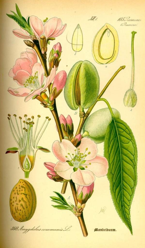 Prunus dulcis - Prof. Dr. Otto Wilhelm Thomé Flora von Deutschland, Österreich und der Schweiz 1885 (Quelle: Wikipedia)