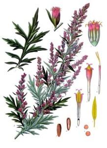 Beifuß (Artemisia vulgaris) aus: Köhler's Medizinal-Pflanzen; 1887 (Quelle: Wikipedia)