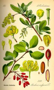 """Berberitze (Berberis vulgaris) (Tafel aus: """"Flora von Deutschland, Österreich und der Schweiz""""; 1885; O.W.Thomé; Quelle: BioLib.de)"""
