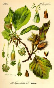 Buche (aus'Flora von Deutschland, Österreich und der Schweiz'; O.W.Thomé; 1885; Quelle: BioLib.de)