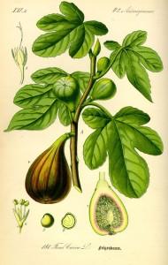 Ficus carica - Prof. Dr. Otto Wilhelm Thomé Flora von Deutschland, Österreich und der Schweiz 1885, Gera, Germany  (Quelle: Wikipedia)