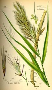 Gemeines Schilfrohr - Prof. Dr. Otto Wilhelm Thomé Flora von Deutschland, Österreich und der Schweiz 1885, Gera, Germany (Quelle: Wikipedia)