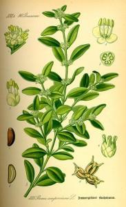 """Buxus sempervirens - immergrüner Buchsbaum Tafel aus """"Flora von Deutschland, Österreich und der Schweiz"""" von Otto Wilhelm Thomé von 1885 Quelle: www.BioLib.de"""