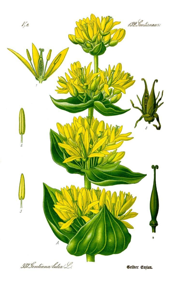 """Gentiana lutea Prof. Dr. Otto Wilhelm Thomé """"Flora von Deutschland, Österreich und der Schweiz"""" 1885, Gera (Quelle: Wikipedia)"""