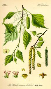 Hänge-Birke (aus: Flora von Deutschland, Österreich und der Schweiz; O.W.Thomé; 1885; Quelle: BioLib.de)