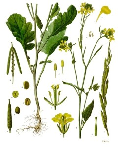 Schwarzer Senf (Köhler`s Medizinal-Pflanzen; 1887; Quelle: BioLib.de)