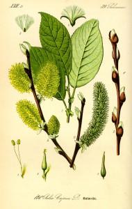 """Salicaceae """"Flora von Deutschland, Österreich und der Schweiz """"1885 von Prof. Dr. Otto Wilhelm Thomé (Quelle: Wikipedia)"""