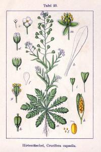 Gewöhnliches Hirtentäschel (aus: Deutschlands Flora in Abbildungen; Sturm; 1796; Quelle: BioLib.de)