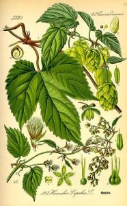Hopfen (Humulus) (Tafel aus -Flora von Deutschland, Österreich und der Schweiz- von Otto Wilhelm Thomé von 1885) - Quelle: www.BioLib.de